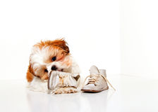 Naughty Puppy. A cute Shih Tzu puppy chewing on a pair of vintage baby shoes stock image