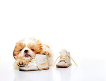 Naughty Puppy Stock Photos