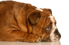 Naughty puppy Stock Images