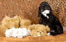 Naughty puppy. American cocker spaniel puppy ripping apart stuffed animal - 7 weeks old royalty free stock images