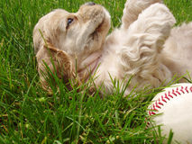Naughty puppy with baseball. Spaniel puppy laying on back in grass with baseball (6 weeks old champion stock Stock Photos