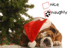 Naughty puppy at christmas Royalty Free Stock Images