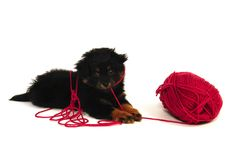 Naughty Puppy Dog. A naughty 2 month old yorkipoo puppy dog is caught in the knitting yarn Stock Photo