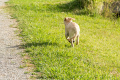 Naughty Puppy Runs Away. A naughty yellow Labrador puppy runs away across a grassy park Royalty Free Stock Photo