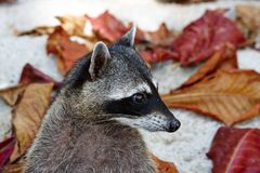 Naughty Racoon. In Costa Rica with leafs in background Stock Photos