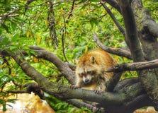 Naughty racoon. Racoon on a tree Stock Photos