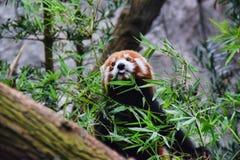 Naughty Red Panda Stock Photo