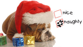 Naughty santa dog Stock Photo