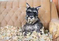 Naughty schnauzer Stock Images