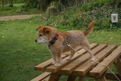 Naughty terrier dog on picnic bench Royalty Free Stock Photography