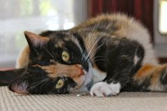 Naughty Tortie. Playing Cat Happy Tortishell Cat Royalty Free Stock Photography