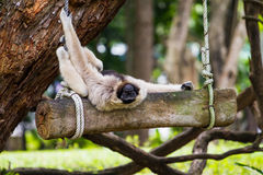 Naughty white gibbon Royalty Free Stock Photography