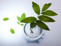 Nauka eksperyment z rośliny laboratorium zdjęcie stock