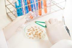 Naukowa badawczy ryżowy Jaśminowy działanie przy laboratorium Obrazy Royalty Free