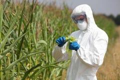 Naukowiec egzamininuje kukurydzanego cob na polu Fotografia Royalty Free