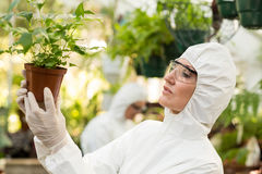 Naukowiec egzamininuje puszkować rośliny przy szklarnią Zdjęcie Royalty Free