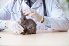 Naukowiec robi badać na zwierzę króliku fotografia royalty free