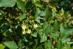 Naukowy imię roślina jest Jasminum odarantissimum obraz stock