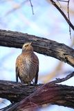 Naumann`s Thrush. The close-up of a Naumann`s Thrush stands in winter branch. Scientific name: Turdus naumanni Stock Images