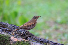 Naumann's Thrush, Turdus naumanni Royalty Free Stock Photos