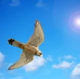 Naumanni hawk under a bright sun. Close up of a naumanni hawk under a bright sun Stock Images
