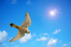 Naumanni hawk under a bright sun. Close up of a naumanni hawk under a bright sun Royalty Free Stock Photography