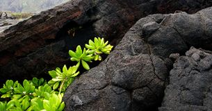 Naupaka Kahakai breaks through lava field Stock Image