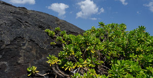 Naupaka Kahakai neemt de rotsen van het lavagebied over Stock Afbeelding