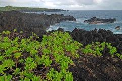 Naupaka que cresce na rocha vulcânica, imagens de stock