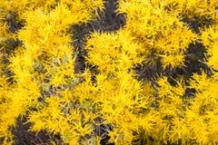 Nauseosa de Ericameria dos wildflowers de Chamisa imagens de stock royalty free