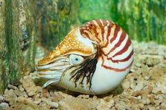 Nautilus à temperatura ambiente imagem de stock