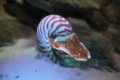 nautilus Royaltyfri Fotografi
