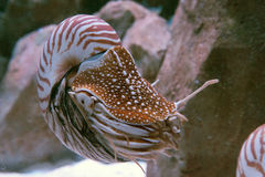Nautilus Stock Photography