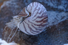 Nautilus στοκ εικόνες