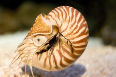 Nautilus Fotos de Stock Royalty Free