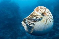 nautilus Photo stock