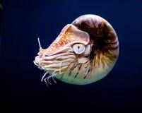 Nautilus Imagenes de archivo