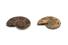 Nautilus ammonite fossil shell isolated Royalty Free Stock Photos