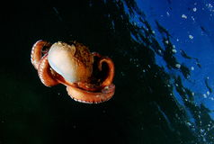 Nautilus. Cephalopod photographed in underwater navigation stock image