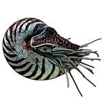 Nautilus Color. Gravure effect in photoshop Royalty Free Stock Image