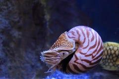 Nautilus compartimentado Fotografía de archivo libre de regalías