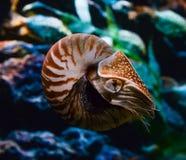 Nautilus compartimentado Imágenes de archivo libres de regalías