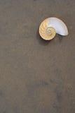 Nautilus del Bellybutton (macromphalus del nautilus) Imagen de archivo