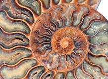 Nautilus fossil detail. Nautilus of 2 mil. years old Stock Image