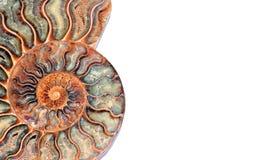 Nautilus fossile Photo libre de droits