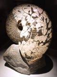 Nautilus fossile pétrifié des mers préhistoriques image libre de droits