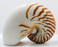 Nautilus. Image of nautilus on white background Royalty Free Stock Photography