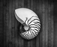 Nautilus. Monochrome image of striped nautilus on a wooden background Stock Photography