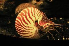 Nautilus nacarado imágenes de archivo libres de regalías