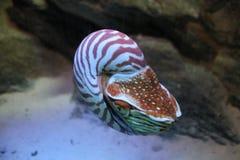 Nautilus. In aquarium Royalty Free Stock Photography